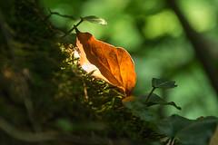 Small leaf (bertrandwaridel) Tags: 2018 echallens june larrit réservedularrit spring switzerland vaud forest leaf nature réservenaturelle tree suisse