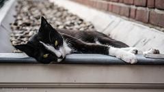 Felis catus (De Hollena) Tags: cat chat feliscatus gato hauskatze huiskat kat katze