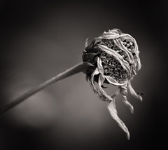 The last days (uhx72) Tags: flower blossom flora dark bw sepia sunflower nature
