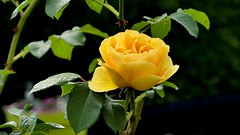 yellow Rose - 5214 (YᗩSᗰIᘉᗴ HᗴᘉS +17 000 000 thx) Tags: rose flora flower yellow macro hensyasmine namur belgium europa aaa namuroise look photo friends be wow yasminehens interest intersting eu fr greatphotographers lanamuroise tellmeastory flickering lx15