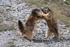 Marmottes (fauneetnature) Tags: marmottes marmots animalier animaux animals animal alpes alps animauxmontagne maurienne montagne mountain mountainanimals