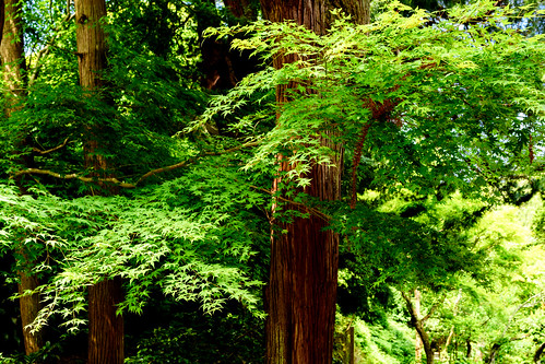 Fresh green maple in Jochi-ji Temple, Kamakura : 北鎌倉・浄智寺