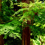 Fresh green maple in Jochiji Temple in Kamakura : 新緑のモミジ(北鎌倉・浄智寺) thumbnail