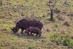 IMG_7332luma (R. Tim Patterson) Tags: whiterhinoceros hluhluweimfolozipark hluhluweimfolozi game reservesouth africazululandkwazulunatal