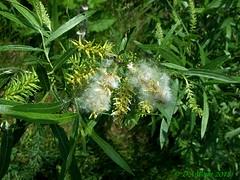 Black Willow Cotton (Picsnapper1212) Tags: blackwillow willow tree plant seed parachute cotton nature lebanon ohio millerecologicalpark