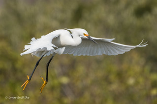 Snowy Egret - Concentration 500_5788.jpg