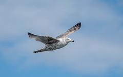 Herring Gull (immature) (Tris Enticknap) Tags: herringgull gulls larusargentatus treshnishisles argyllbute scotland lochtuath