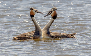 DSC9390  Great Crested Grebes..
