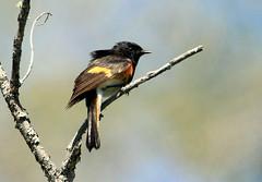 Paruline flamboyante (Marie-Helene Levesque) Tags: oiseau abitibi valdor stedmond paruline parulineflamboyante mariehélène mariehelene