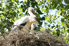 stork mom & baby (photos4dreams) Tags: gersprenz münster hessen germany naturschutz nabu naturschutzgebiet photos4dreams p4d photos4dreamz nature river bach flus susannahvictoriavergau susannahvvergau eventphotos4dreams bird birds storch stork adebar nest nestbau canoneos5dmark3 störche frosch frösche hase vogel vögel dragonfly damselfly libelle natur