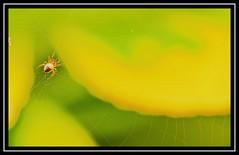 """Spider Sense Is All a-Tingle...!"" (NikonShutterBug1) Tags: nikond7100 tokina100mm entomology nature wildlife bokeh spe smartphotoeditor closeup macro spider insects arachnology araneology web yellow webwednesdays"