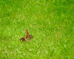 Rabbit (TerraPuella) Tags: rabbit deer white tail tennessee wildlife spring