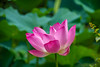 Water lily (Changer4Ever) Tags: nikon d7200 nikkor flower plant macro closeup bokeh dof depthoffied nature color colorful sunny sunlight outdoor season 微距 花 明亮 water lily 葉子
