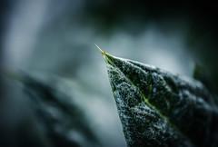 Spiky.. (Emma Yeardley) Tags: thistle spiky spike sharp bokeh dof detail moody macro nikon40mm d3300 plant nature nikon