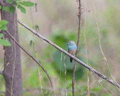Blue waxbill. (annick vanderschelden) Tags: bluewaxbill waxbill bird wilderness vegetation selectivefocus branch namibia