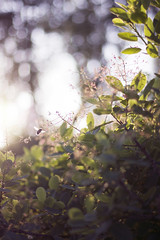 Summer Evening (Girl With Butterfly Wings) Tags: sunny summer sunshine bee bumble insect plant leaf leaves bokeh evening light nature outdoors