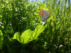 On the verge of light (Eliza Eska) Tags: butterfly copper largecopper insect meadow leaf grass nature