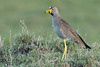 African Wattled Lapwing (Ian Locock Photography) Tags: 2017 birds kenya masaimara wattledlapwing zebraplains