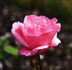 DSC_0155 (PeaTJay) Tags: nikond750 reading lowerearley berkshire macro micro closeups gardens outdoors nature flora fauna plants flowers rose roses rosebuds