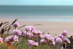 Thrift (jillyspoon) Tags: thrift scotland coast wildflower coastal sea horizon canon canon70d solwaysolwayfirth solwayfirth pink pinks growing nature naturetextures dumfriesandgalloway depthoffield dof dumfriesgalloway