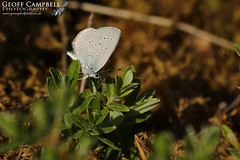 Small Blue (Cupido minimus) (gcampbellphoto) Tags: cupido minimus small blue butterfly insect macro nature wildlife invert ireland irish donegal gcampbellphoto outdoor plant