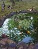 habitat (Bill Sargent) Tags: koi pond habitat fish turtle frog squirrel turkey water