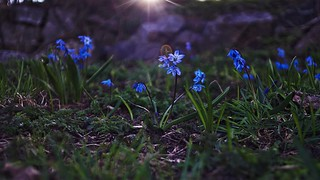 Scilla in backlight