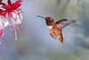 Large Fuschia! (Patricia Ware) Tags: allenshummingbird backyard birdsinflight california canon fullframe fuschia manhattanbeach multipleflash selasphorussasin tripod httppwarezenfoliocom ©2018patriciawareallrightsreserved specanimal