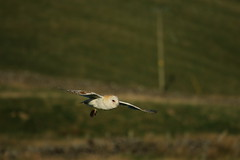 Barn Owl hunting (relphster) Tags: barnowl yorkshiredales bird owl upperwensleydale moorland