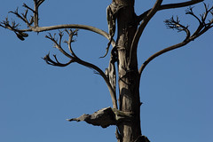 IMG_1060 (armadil) Tags: sanfrancisco sanfranciscobotanicalgarden sfbotanicalgarden bird birds woodpecker woodpeckers motherhood spring downywoodpecker downywoodpeckers agave