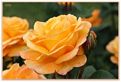 peachy keen! (MEA Images) Tags: roses rosegarden gardens blooms flora nature parks pointdefiancepark tacoma washington canon picmonkey