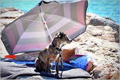 sans doute encore un peu fraîche... (Save planet Earth !) Tags: dog chien plage nice france sud amcc nikon