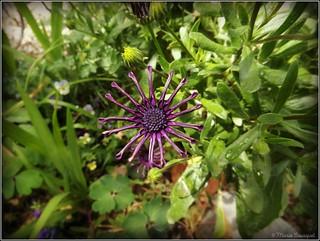 Curieuse fleur violette