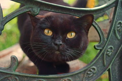black cat (Veitinger) Tags: cat katze animal tier auge augen eye eyes veitinger pentacon sony cateye cateyes katzenaugen