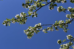 Apple bloom against a blue sky (liisatuulia) Tags: porkkala omenankukka omenapuu