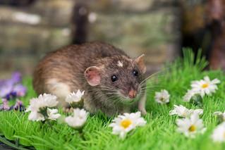 Rat among (fake) flowers
