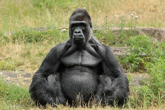 Silverback JAMBO (K.Verhulst) Tags: zilverrug silverback gorilla ape mensaap jambo apenheul apeldoorn apes apen monkeys