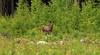 Moose_2018_06_09_0011 (FarmerJohnn) Tags: hirvi moose elk mammal animal animalplanet eläin metsäneläin forest wild wildlife wilderness erämää metsä metsästys metsästyskameralla metsästysilmanasetta kivutonmetsästys hunting huntingwithoutagun huntingwithacamera harmlesshunting moosehunting kesä summer game riista canon canonphotography eos canoneos5dmarkiii 5dmarkiii canonef7020040lisusm finland suomi laukaa valkola anttospohja juhanianttonen