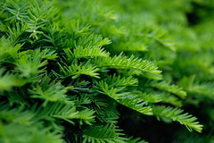 Green (jenny_guo) Tags: green color bokeh carlzeiss zeiss touit1832 pattern tree plant boston artistic x xpro2 beyondbokeh