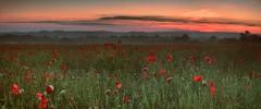 Poppies at sunrise (seantindale) Tags: sunrise olympus omdem5markii poppyfield poppies flowers explore