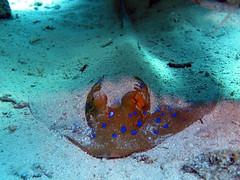 Taeniura lymma (sharksfin) Tags: sudan redsea rotes meer deepsouth ocean sea