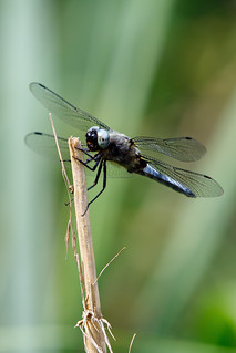 My first dragon-fly this season