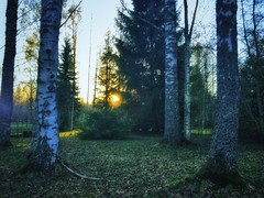 Summer evening (Mihaela_gor) Tags: suomi finland trees forest nature sunset evening sun spring summer colors green landscape outdoors scenery birch