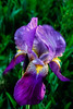 Bright Purple Iris (http://fineartamerica.com/profiles/robert-bales.ht) Tags: emmett forupload haybales idaho iris people photo places plants projects states flags flag perennialherbs rhizomes bulbs perianth inferiorovary flora one bloom blossom stem nature flower closeup green violet botany blossoming bearded petal purple sunshine sensational spectacular awesome magnificent peaceful inspiring inspirational wow superb tranquil flowerbulbs flowerspikes cutflowers robertbales iphone spring isolated cutflower flowerarrangement yellow vignette macro greetingcards rain drops raindrops dew