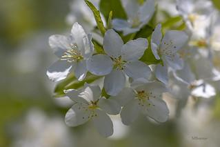 Les cerisiers sont en fleurs