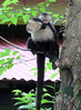 2018-050801 (bubbahop) Tags: 2018 puntarenas costarica hotel punta leona animal monkey