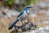 Florida Scrub-Jay (Simon Stobart) Tags: rockledge florida us scrubjay aphelocoma coerulescens