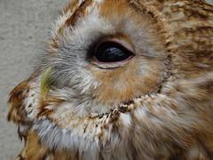 DSC07658 (guyfogwill) Tags: 2018 birds brandonsbirthday devon gbr guyfogwill may owls paignton tawnyowl unitedkingdom paigntontorquay guy fogwill