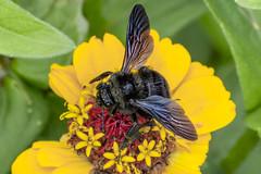 Bombus atratus ( (Bumblebee / Abejorro) on Dwarf Zinnia (PriscillaBurcher) Tags: bombusatratus bumblebee abejorro apidae hymenopteraofsouthamerica hymenopteraofcolombia hymenoptera colombia l1560556