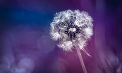 purple touch (Simon[L]) Tags: dandelion clock seedhead purple blue vibrant photoshop slider hss